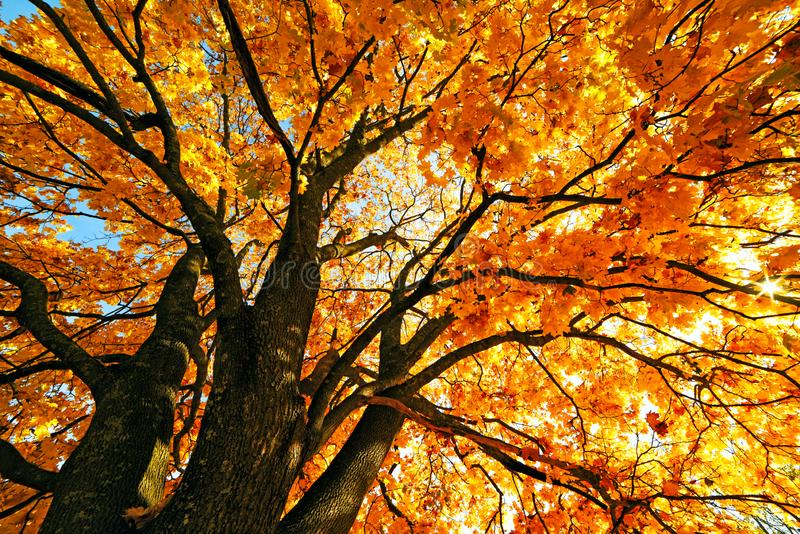 Spreading mighty tree of autumn yellow maple. Bright yellow foliage on a sunny warm autumn day. stock images