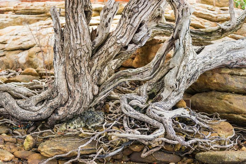The spreading root system of the old tree on the ground. The variety of shapes in wild nature. Perfect background for the various. Kinds of collages royalty free stock photos
