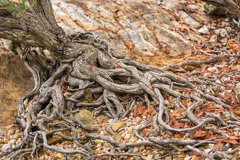 The spreading root system of the old tree on the ground. The variety of shapes in wild nature. Perfect background for the various. Kinds of collages stock photography