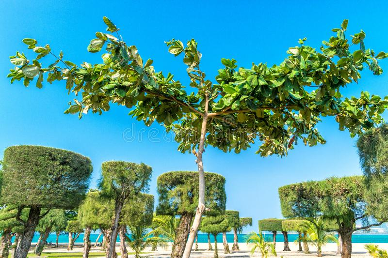 Spreading tree with trimmed trees on background with clear sky stock photo