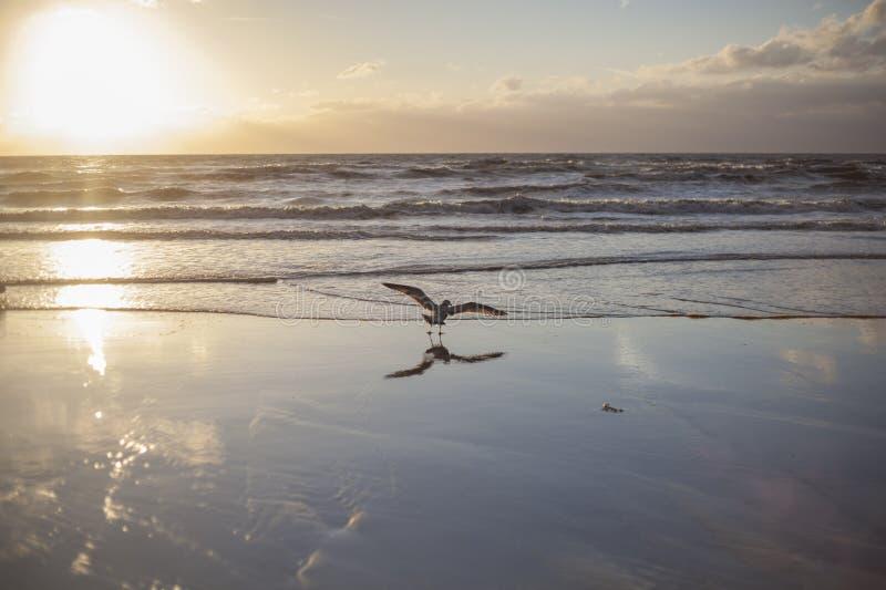 Spreadings de una gaviota de arenques su ala foto de archivo libre de regalías
