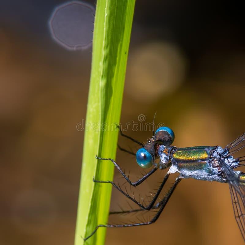 spreadwing的蜻蜓极端特写镜头宏指令在草叶的在州长诺尔斯状态森林-眼睛和胸部了不起的细节里  免版税库存照片