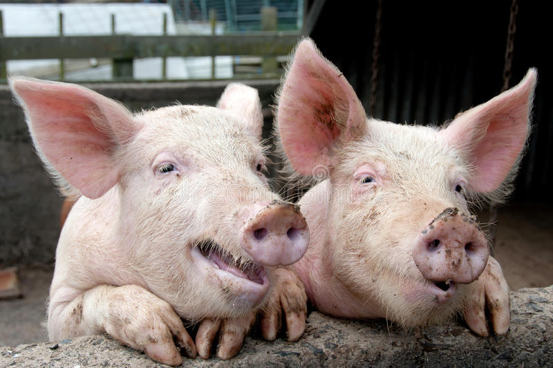 Sprechenschweine stockbild