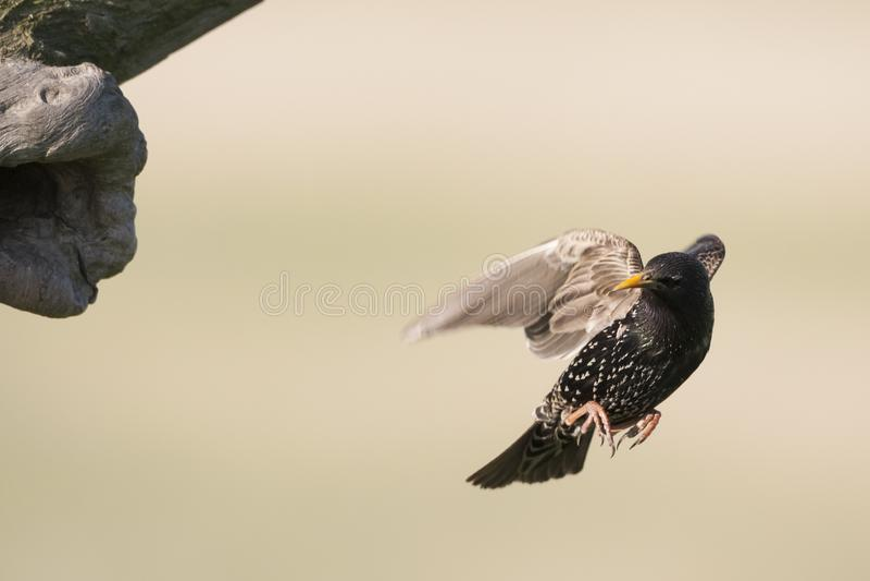 Spreeuw, Common Starling, Sturnus vulgaris. Spreeuw vliegend bij nest; Common Starling flying near nest stock image