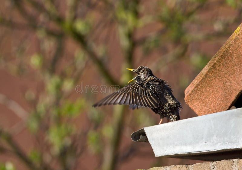 Spreeuw, Common Starling, Sturnus vulgaris. Spreeuw zingend op een dak; Common Starling singing from a roof royalty free stock image