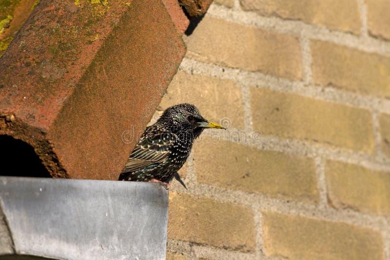 Spreeuw, Common Starling, Sturnus vulgaris. Spreeuw zittend op een dak; Common Starling perched on a roof royalty free stock photos