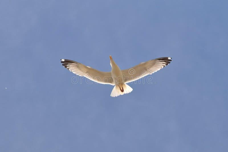 Spreid uw vleugelsconcept, zeemeeuw op blauwe hemel uit stock foto