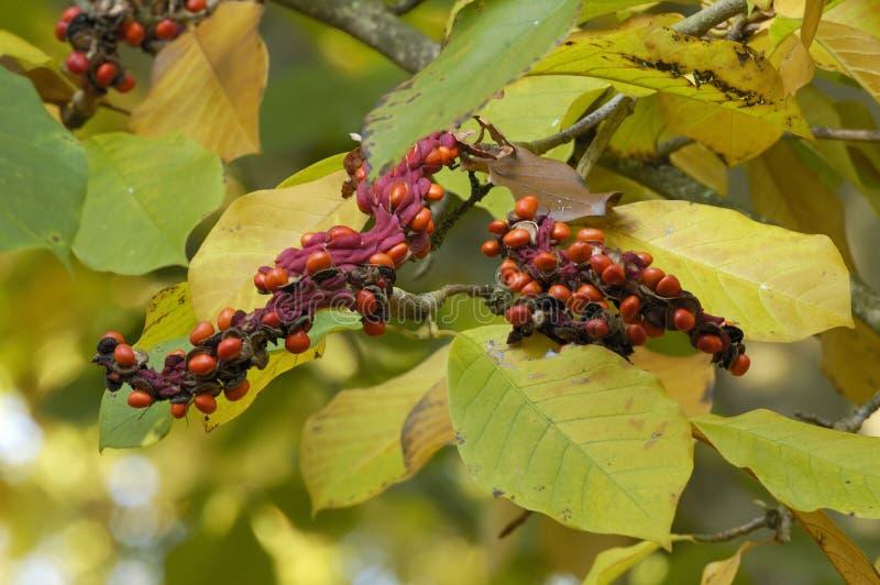Sprenger's Magnolia. Fruit of Sprenger's Magnolia Tree - Magnolia sprengeri variety Diva royalty free stock image