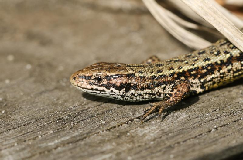 A stunning Common Lizard, Zootoca vivipara, hunting on a wooden boardwalk . royalty free stock image
