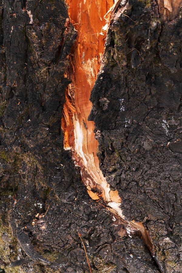 Spricka i det gamla trädet som är bakbelyst vid solen royaltyfri bild