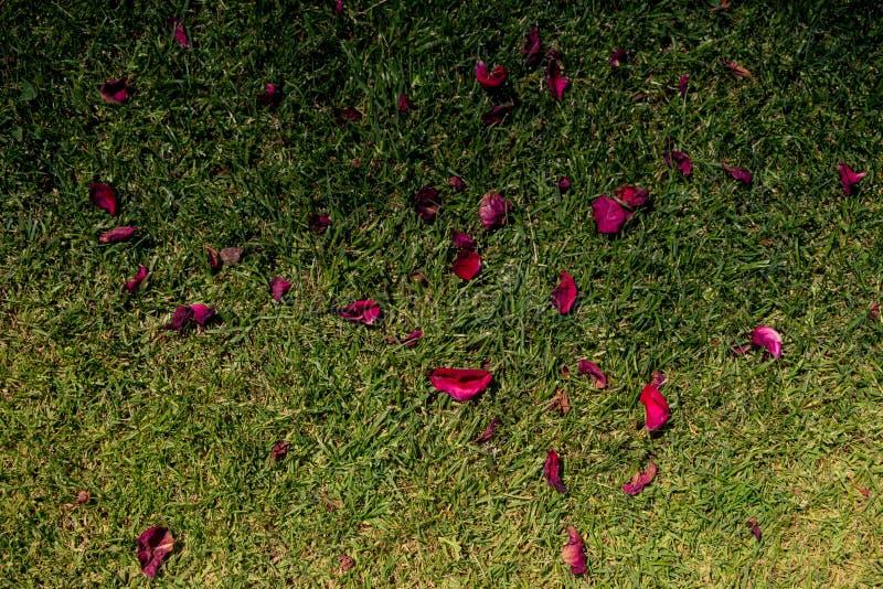 Spridda nya rosa kronblad på jordningen royaltyfri bild