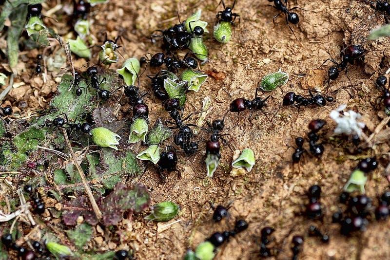 Spridning av frö vid myror royaltyfri bild