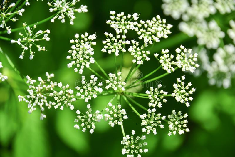 Spridning av små vita blommor På bakgrunden av grönt gräs i sommarskogen makrofoto S?songsbetonad bakgrund f?r natur arkivfoton