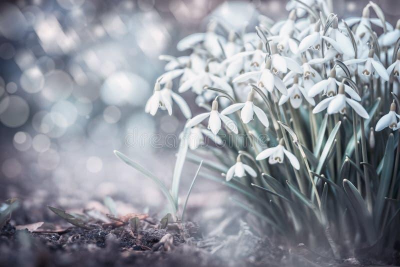 Sprig śnieżyczki kwitną przy plenerowym natury tłem z bokeh w ogródzie, parku lub lesie, frontowy widok fotografia royalty free