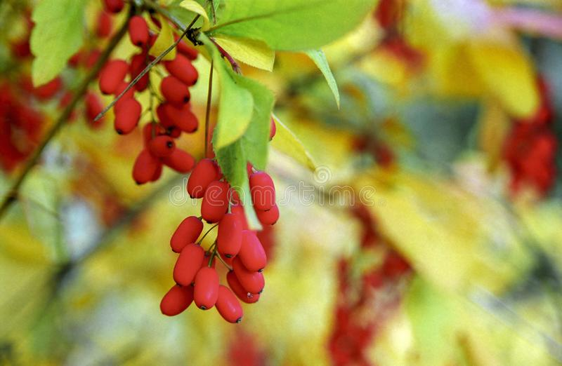 Sprig of barberry among autumn foliage stock image