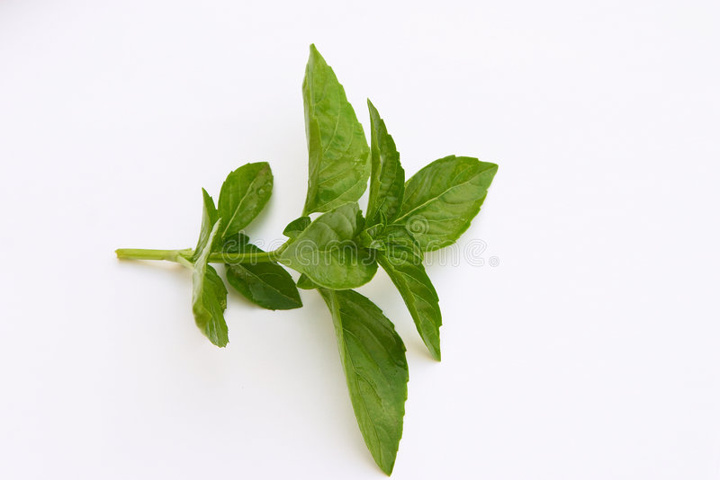 Sprig of Basil. A sprig of the herb basil, used particularly in Italian cooking (pesto sauce) and also as a charm against evil in some Mediterranian countries stock photo