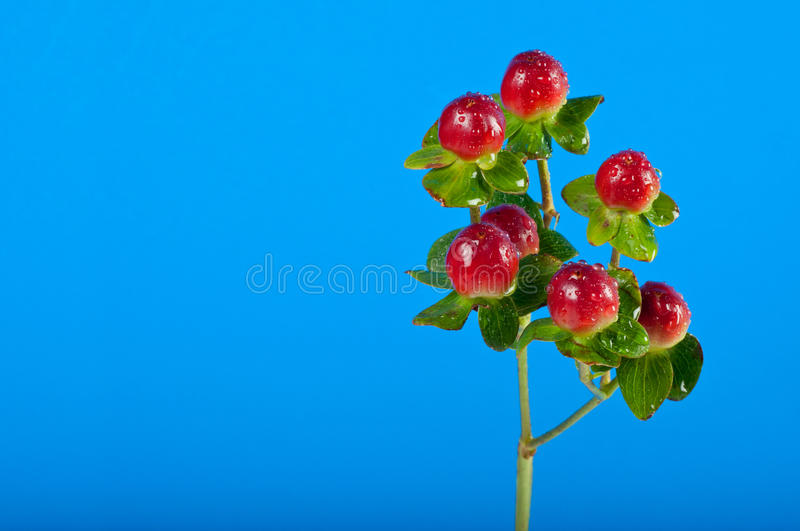Download Sprig of berries stock image. Image of isolated, berry - 27291077