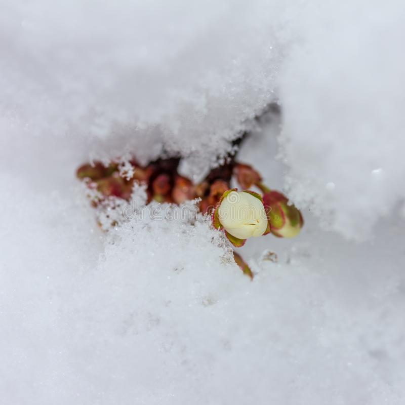 Sprig of blooming cherry plum covered with suddenly fallen snow close-up stock photography