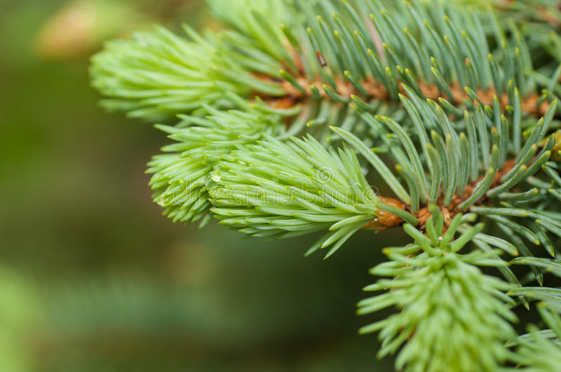 Sprig of blue spruce in spring. Close-up royalty free stock photography