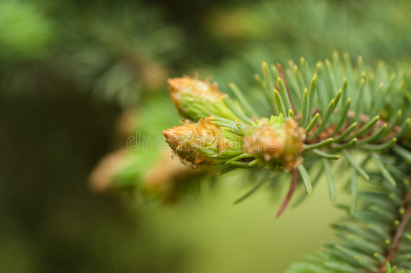 Sprig of blue spruce in spring. Close-up royalty free stock images