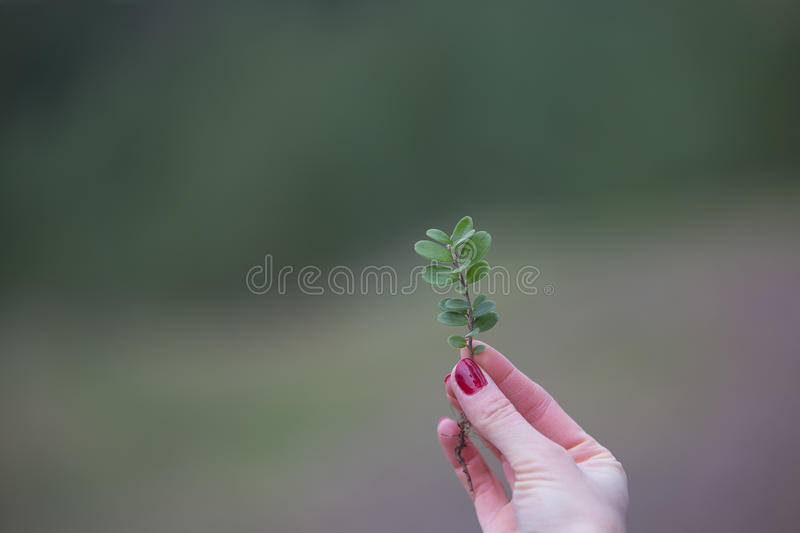 Sprig of blueberries in the fingers of the girl royalty free stock image