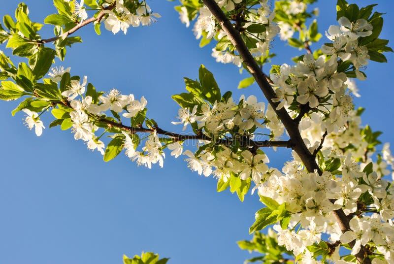 Sprig of cherry stock image