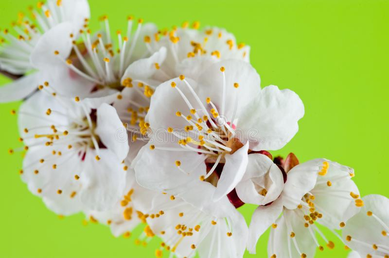 Sprig of cherry tree blooming in spring shot close-up on green background.  royalty free stock images