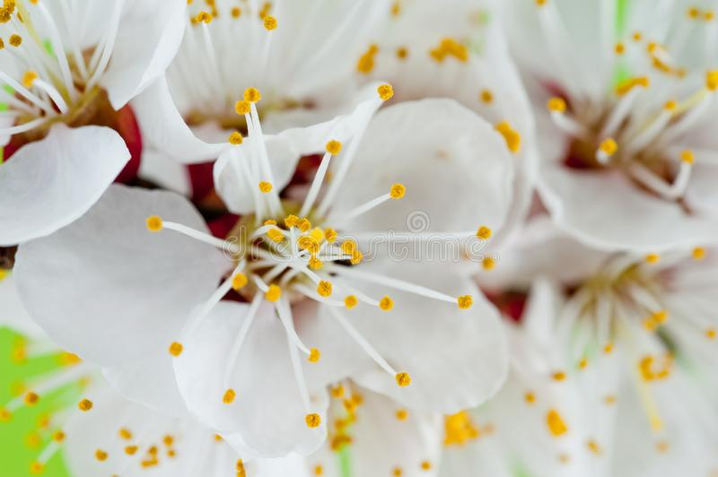 Sprig of cherry tree blooming in spring shot close-up on green background.  royalty free stock image