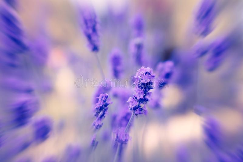 Lavender with blurred surround. stock photos