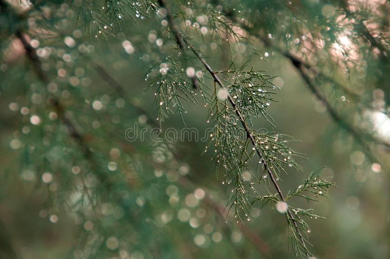 Sprig of coniferous tree with silver rain droplets. Close-up royalty free stock image