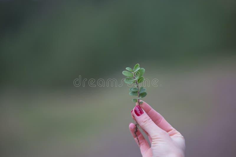 Sprig czarne jagody w palcach dziewczyna obraz royalty free