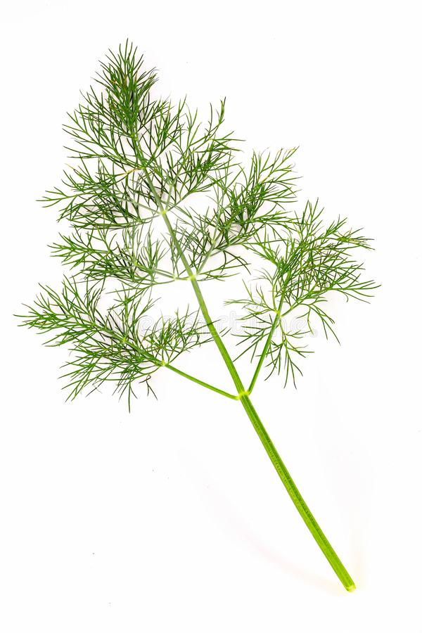 Sprig of dill large. Single sprig of dill on white background. Sprig of dill large stock images