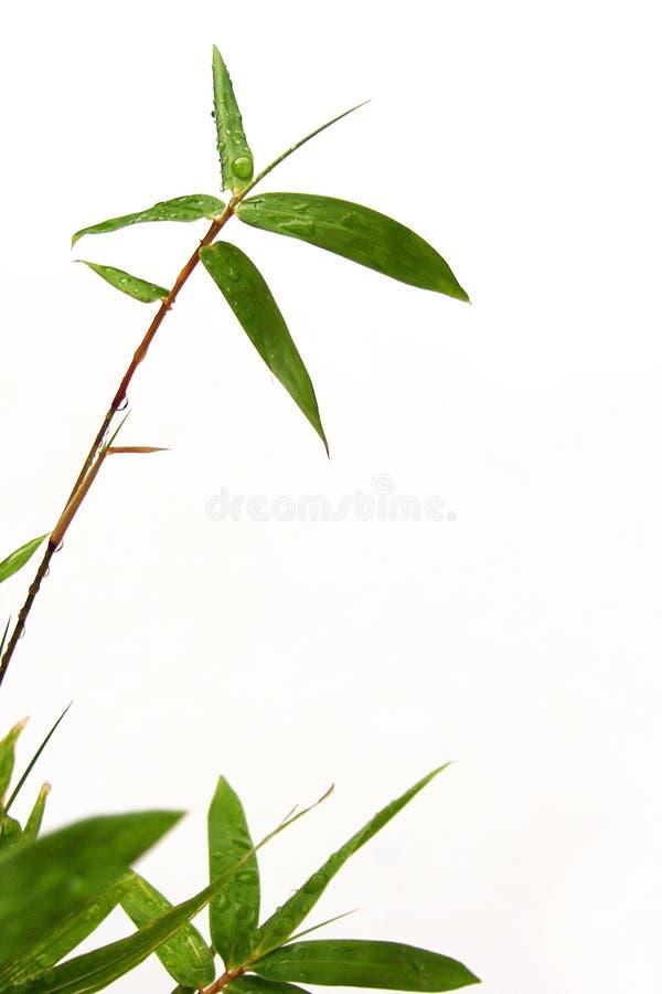 Sprig e pingos de chuva de bambu foto de stock