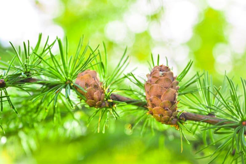 Sprig Europejskiego modrzewia lub Larix decidua z sosną konusuje na zamazanym tle fotografia stock