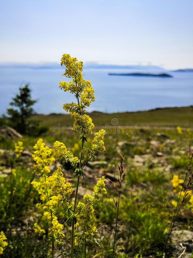 Sprig of flowers of the bedstraw against the lake. a sprig of gooseberry in the wild.. royalty free stock photography