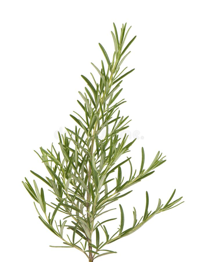 Sprig of fresh rosemary isolated on white background. Rosemary branch royalty free stock photos