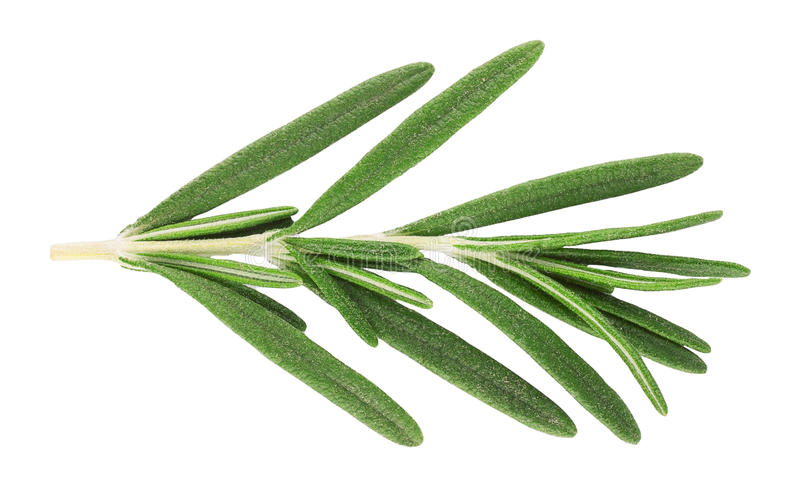Sprig of fresh rosemary isolated on white royalty free stock images
