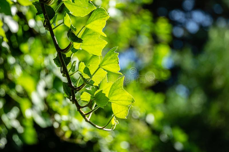 Sprig of green ivy Hedera helix with bright young leaves against natural bokeh of garden against sun. Nature concept for design. Selective focus stock photography