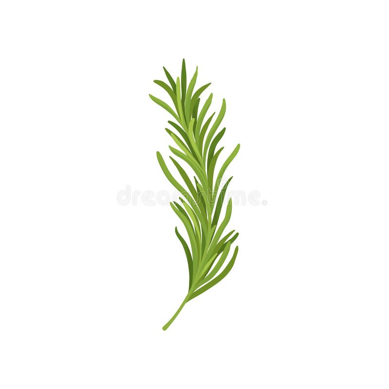 Sprig of green rosemary. Fresh herb used in culinary. Organic ingredient for flavoring dishes. Flat vector design royalty free illustration
