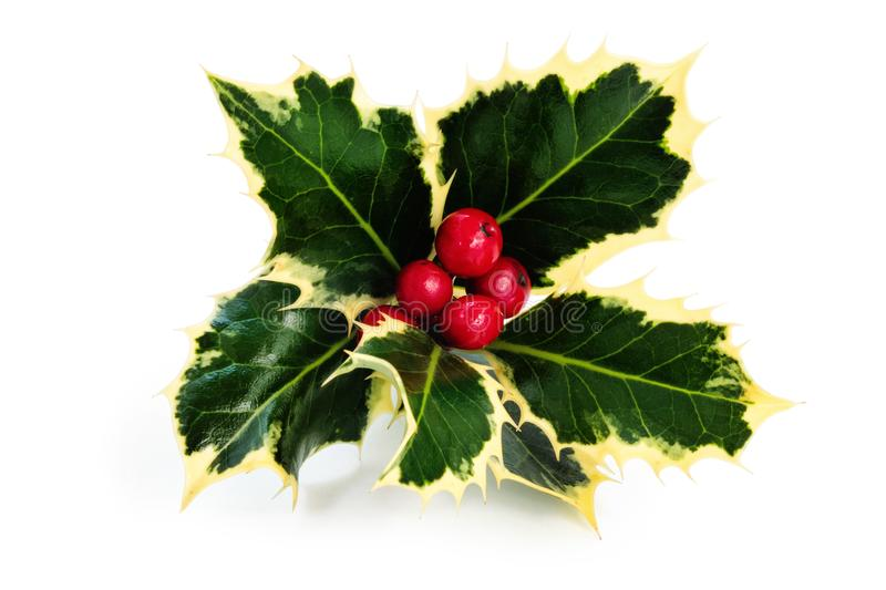 Sprig of holly. Sprig of holly with berries and ribbon isolated on a white background stock photo