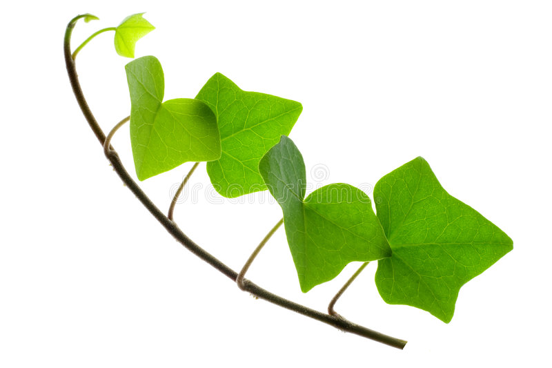 Sprig of Ivy. Detail of a sprig of ivy over white stock photo