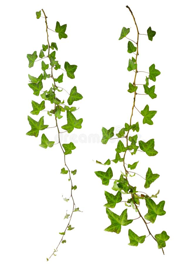 Sprig of ivy with green leaves isolated. On a white background stock photo