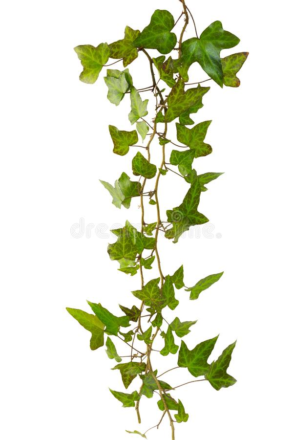 Sprig of ivy with green leaves isolated. On a white background royalty free stock images