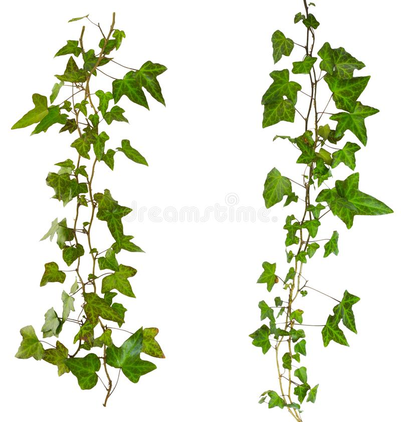Sprig of ivy with green leaves isolated on a white background. Sprig of ivy with green leaves isolated on a background royalty free stock images