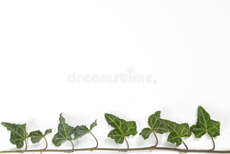A sprig of ivy. On a white surface stock image