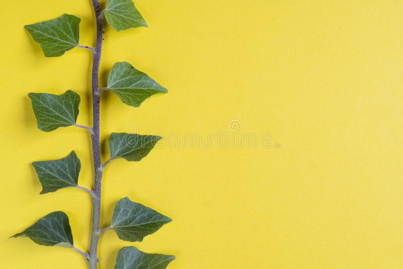 A sprig of ivy. On a yellow surface stock photos