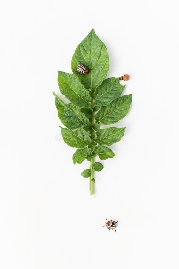Sprig kartoflane larwy Kolorado kartoflana ściga fotografia stock