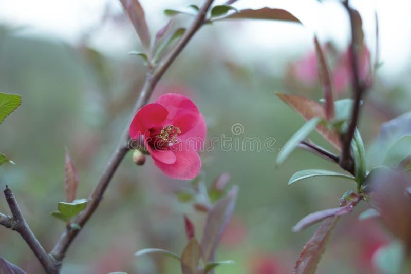 Sprig kwiatonośna pigwa w wiośnie Delikatny czerwony kwiat fotografia royalty free