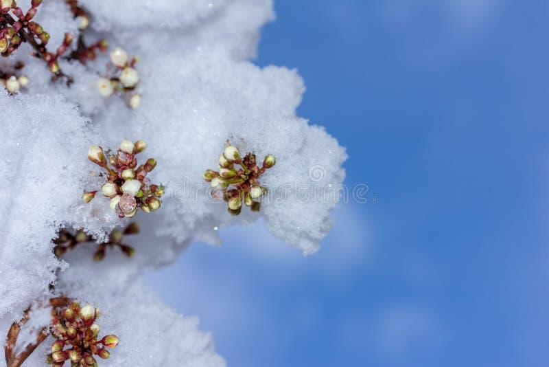 Sprig kwitnąć czereśniowej śliwki zakrywającej z nagle spadać śniegiem przeciw niebieskiemu niebu fotografia royalty free