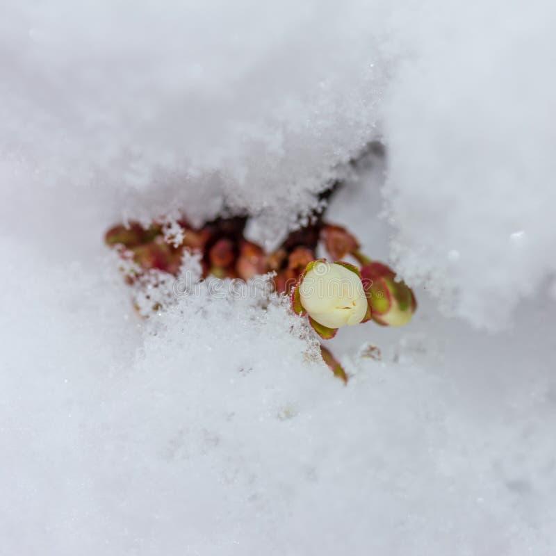 Sprig kwitnąć czereśniowej śliwki zakrywającej z nagle spadać śniegiem w górę fotografia stock